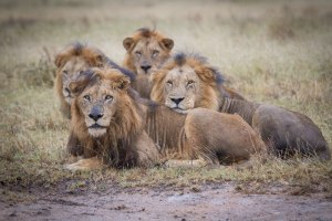 lions staring